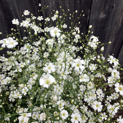 BABY'S BREATH COVENT GARDEN :: 200 seeds