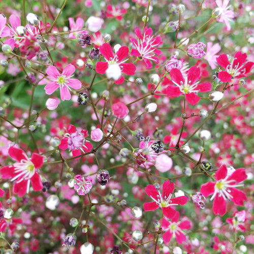 baby's breath shades of carmine seeds jardin de fleur