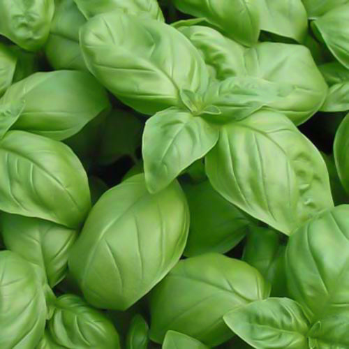 BASIL GENOVESE :: HEIRLOOM :: 150 seeds