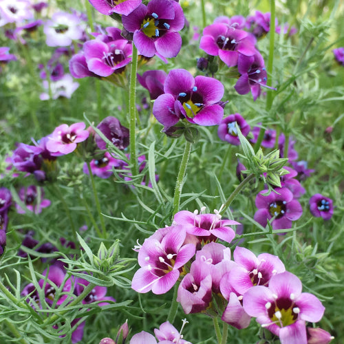 BIRD'S EYES FELICITAS MIX :: 300 seeds