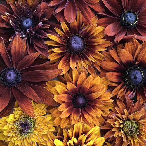 BLACK EYED SUSAN CHEROKEE SUNSET MIX :: 50 seeds