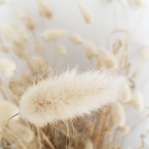 BUNNY'S TAILS :: WILD HARVESTED :: 20 seeds