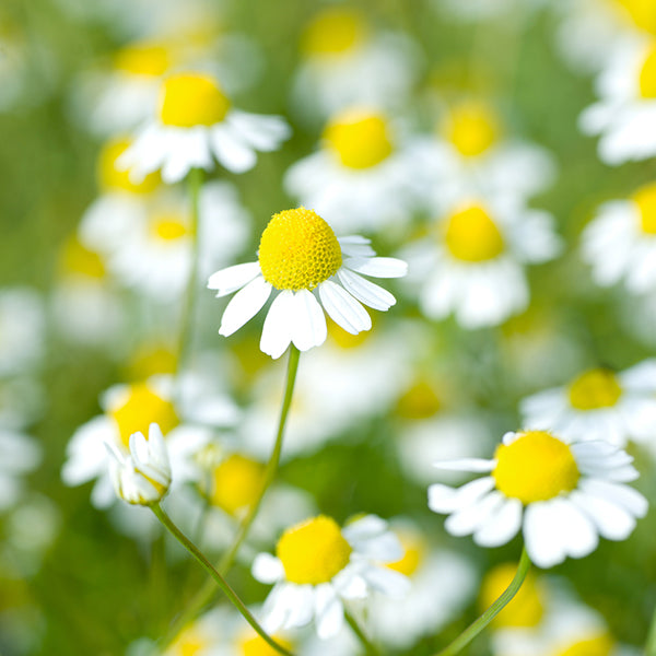 CHAMOMILE GERMAN :: 500 seeds