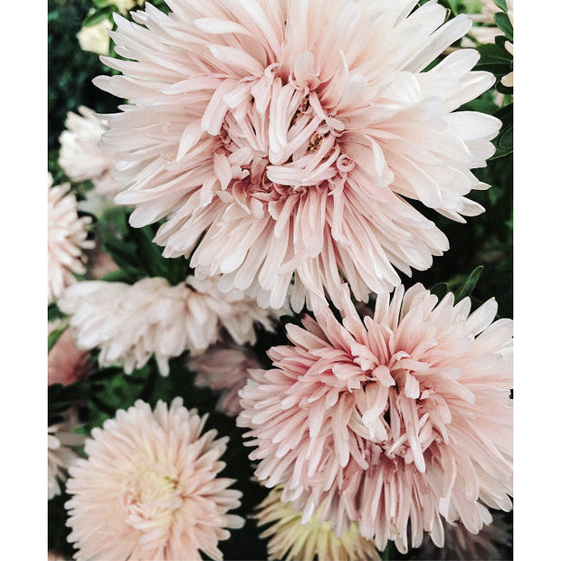 ASTER CORAL BLUSH :: 50 seeds