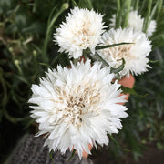 CORNFLOWER TALL DOUBLE WHITE BALL :: 100 seeds