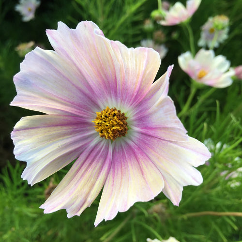 COSMOS APRICOT LEMONADE :: 50 seeds