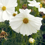 COSMOS PURITY :: 80 seeds