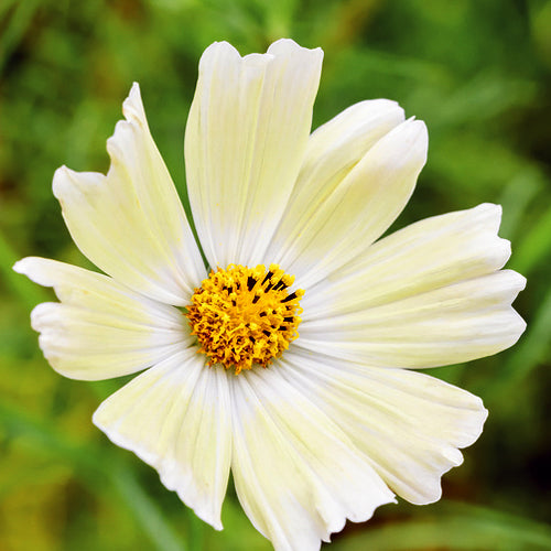 COSMOS SUNSET YELLOW :: 50 seeds