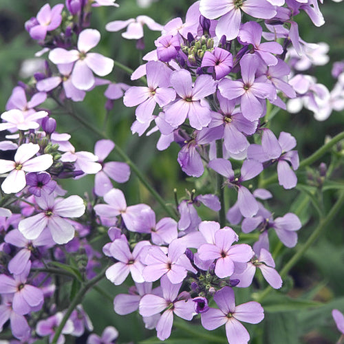 DAME'S VIOLET PURPLE-VIOLET :: 60 seeds