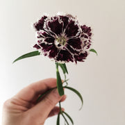 DIANTHUS VELVET AND LACE :: 50 seeds