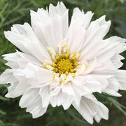 COSMOS SNOW PUFF :: 50 seeds