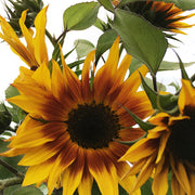 SUNFLOWER EVENING SUN :: HEIRLOOM :: 50 seeds