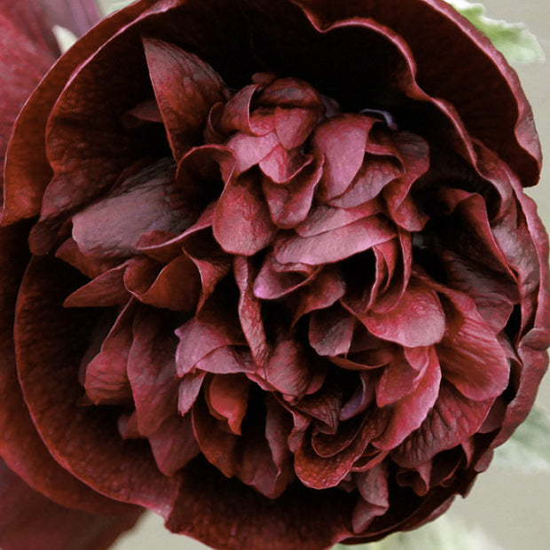 HOLLYHOCK CHARTER'S CHESTNUT BROWN :: 25 seeds