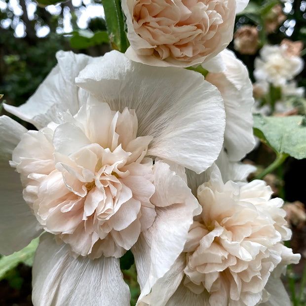 HOLLYHOCK MAJORETTE CHAMPAGNE :: 25 seeds