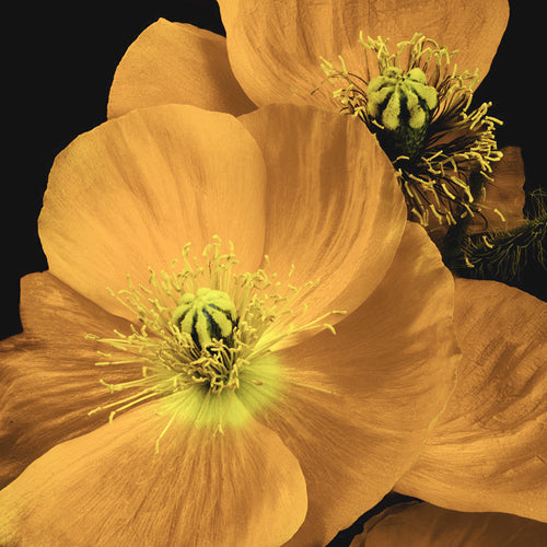 POPPY ICELAND COLOUR MIX :: 300 seeds