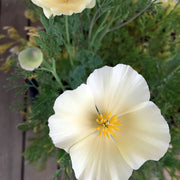 CALIFORNIAN POPPY IVORY CASTLE :: 100 seeds
