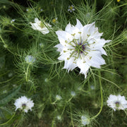 LOVE IN A MIST WHITE :: 200 seeds