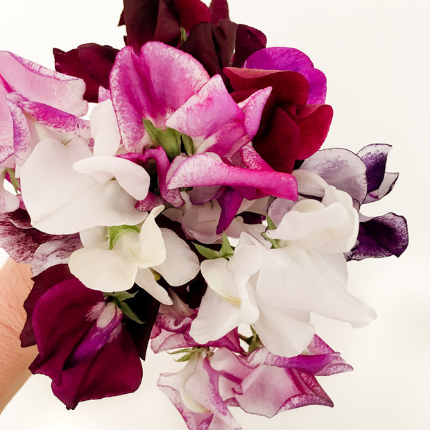 SWEET PEA PARISIAN MIX :: 15 seeds