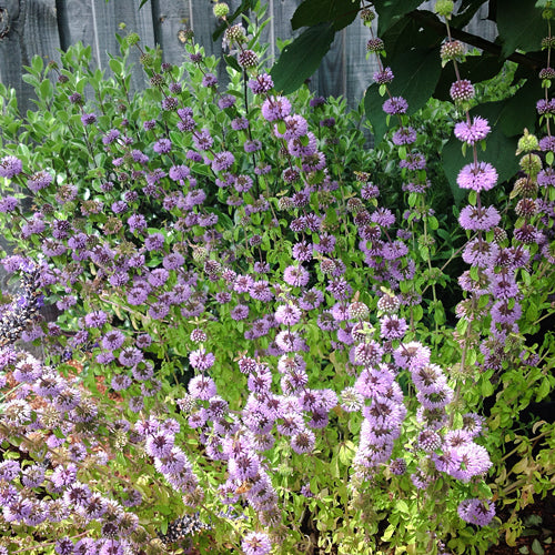 PENNYROYAL :: 1000 seeds