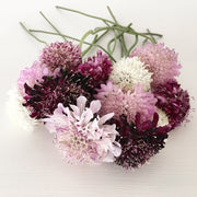 SCABIOSA PINCUSHION FLOWER MIX :: 70 seeds