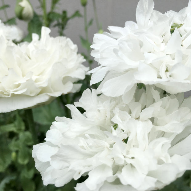 POPPY WHITE CLOUD :: 500 seeds