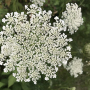 QUEEN ANNE'S LACE :: 200 seeds