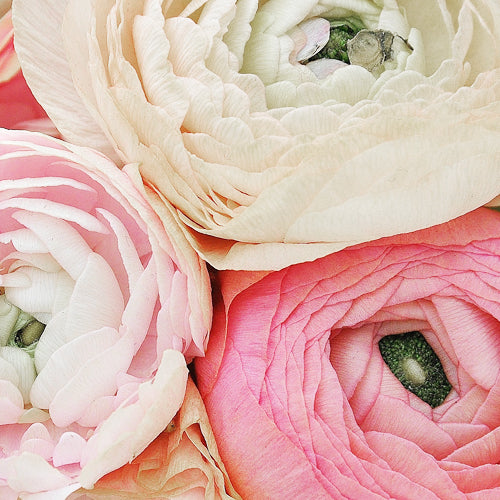 RANUNCULUS SWEETHEART MIX :: 200 seeds