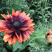 BLACK EYED SUSAN RUSTIC COLOURS MIX :: 50 seeds