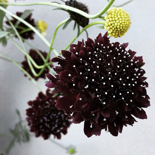 SCABIOSA BLACK KNIGHT :: 30 seeds