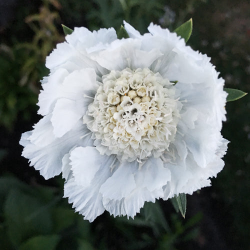 SCABIOSA CAUCASICA PERFECTION WHITE :: 20 seeds