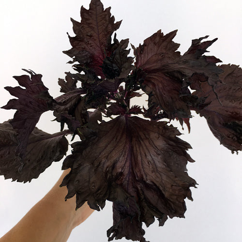 SHISO RED :: 80 seeds