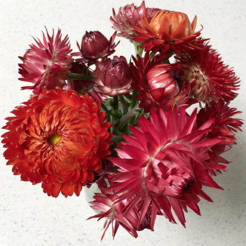 STRAWFLOWER FOREST BERRIES :: 50 seeds