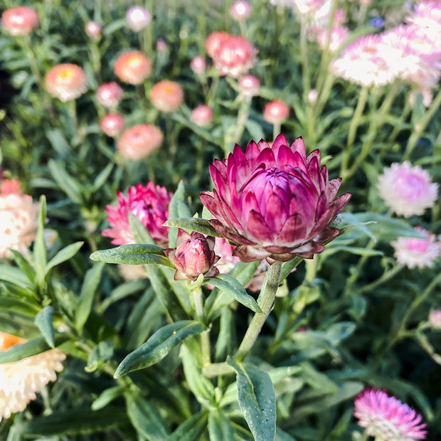 STRAWFLOWER WILD MEADOWS MIXED :: 300 seeds