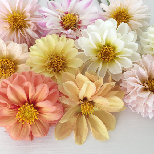 DAHLIA SUMMER BOUQUET :: 50 seeds