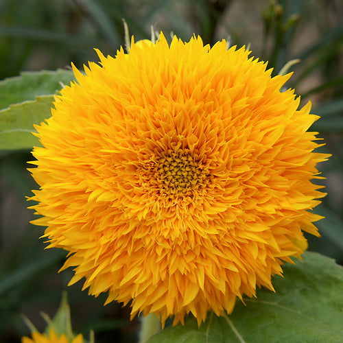 SUNFLOWER TEDDY BEAR :: 30 seeds