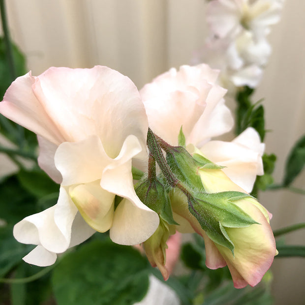 SWEET PEA BIX :: 15 seeds