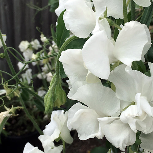 SWEET PEA SOLSTICE WHITE :: 15 seeds