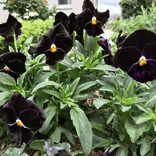 VIOLA OBSIDIAN PRINCESS :: 100 seeds