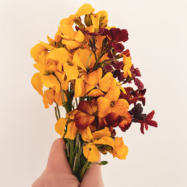 WALLFLOWER AEGEAN SUNSET :: 100 seeds