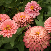 ZINNIA SALMON QUEEN ROSE :: 50 seeds