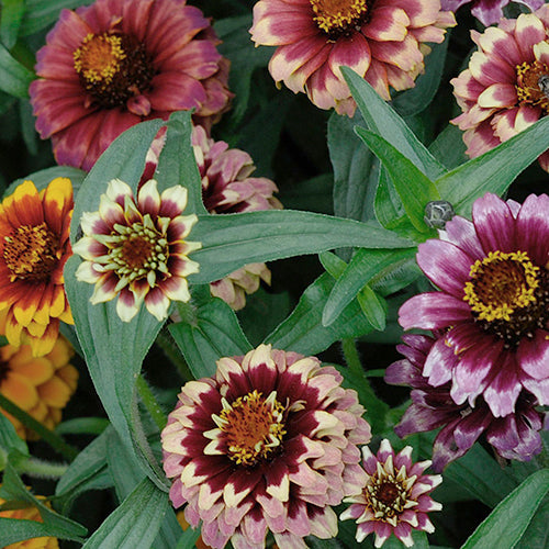 ZINNIA AZTEC SUNSET :: 50 seeds
