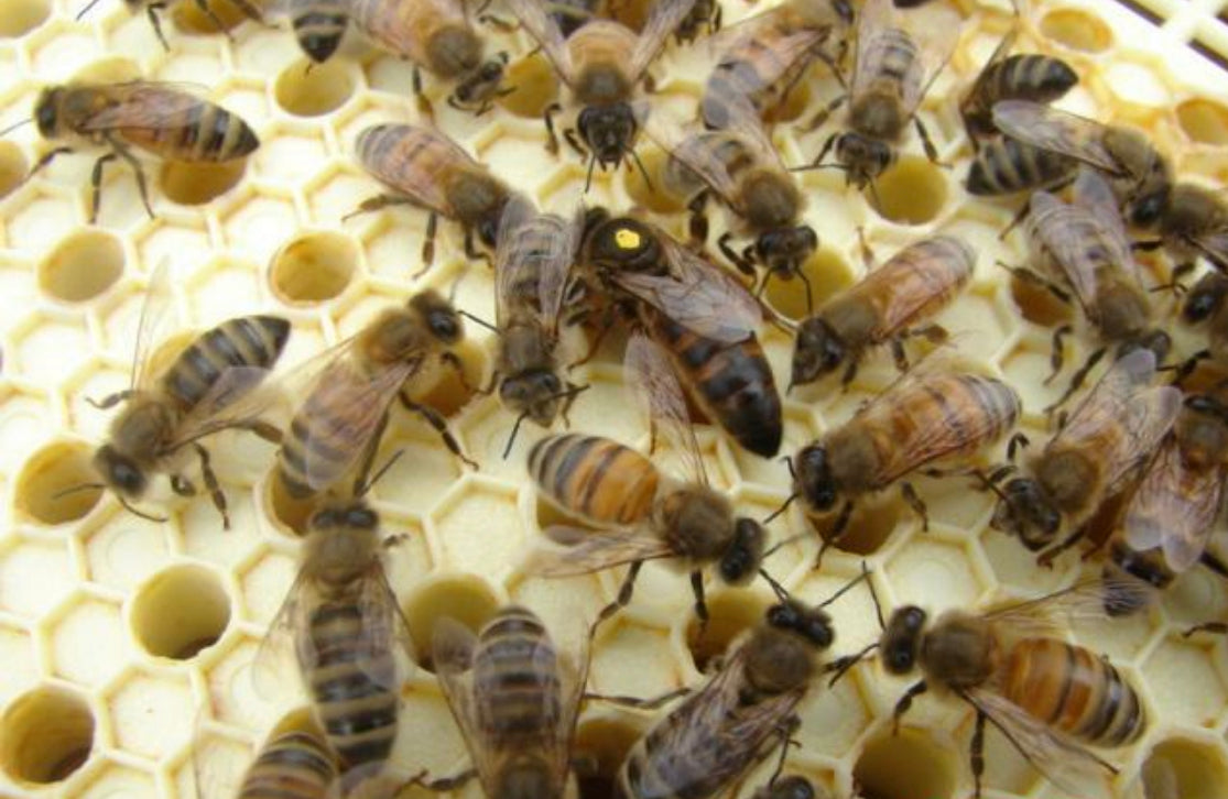 Queen Bee Rearing: To Bee or not to Bee…