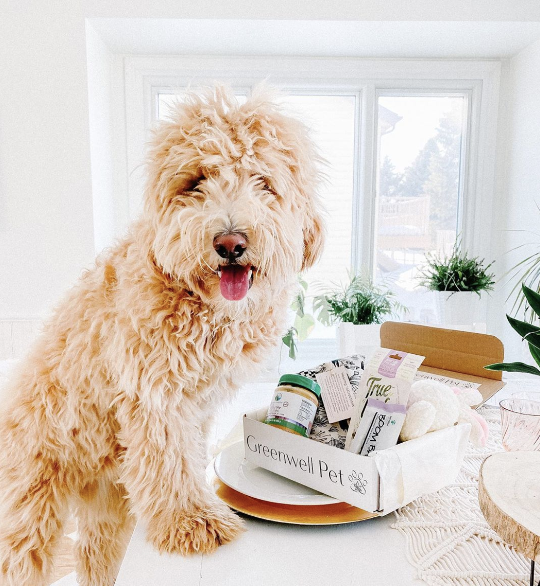 Fluffy Golden Doodle dog with its paws up on the counter next to an open Greenwell Pet CBD subscription box.