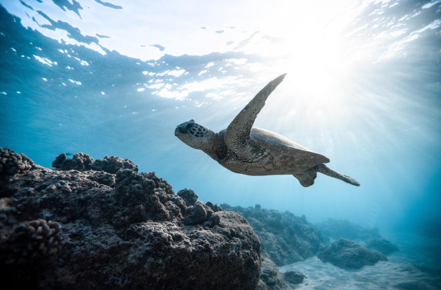 Sea Turtle Swimming in Clear Water