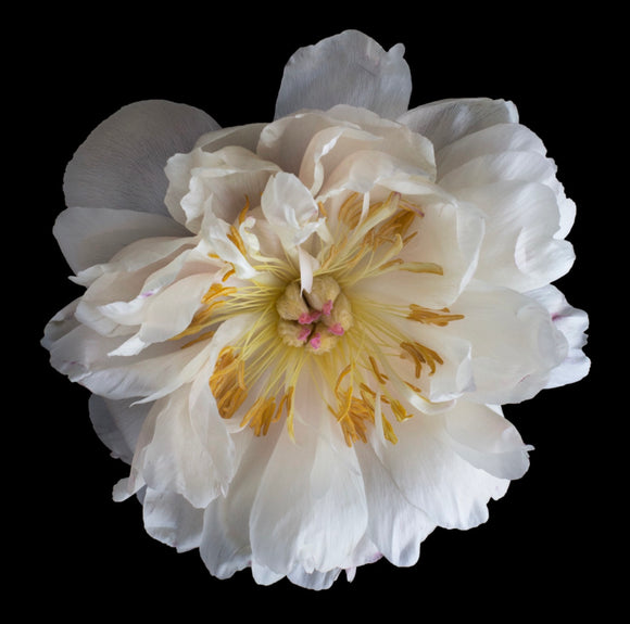 FVP- Faded Coral Peony