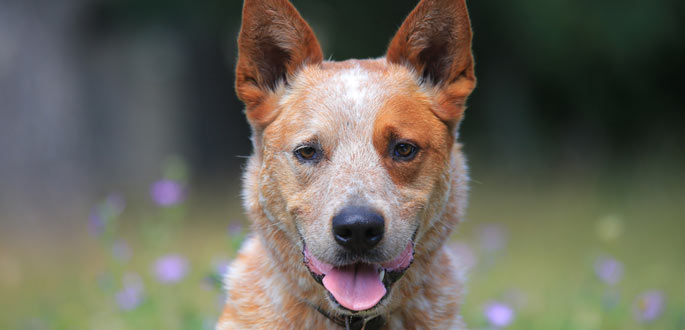 Australian-Cattle-Dog-overview