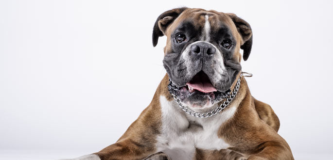 Boxer-dog-breed-information