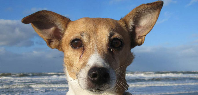 jack-russell-breed-overview