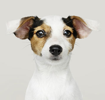 jack-russell-breed-info