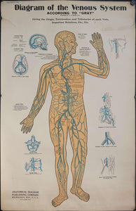 1895 Diagram of the Venous System Anatomical Chart - Golden Age Posters